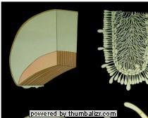 Wandplaat schimmels/champignon