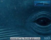 Walvis op ware grootte